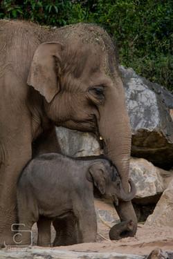 Elephant Chester Zoo