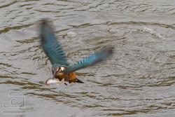 Kingfisher Catching A Fish