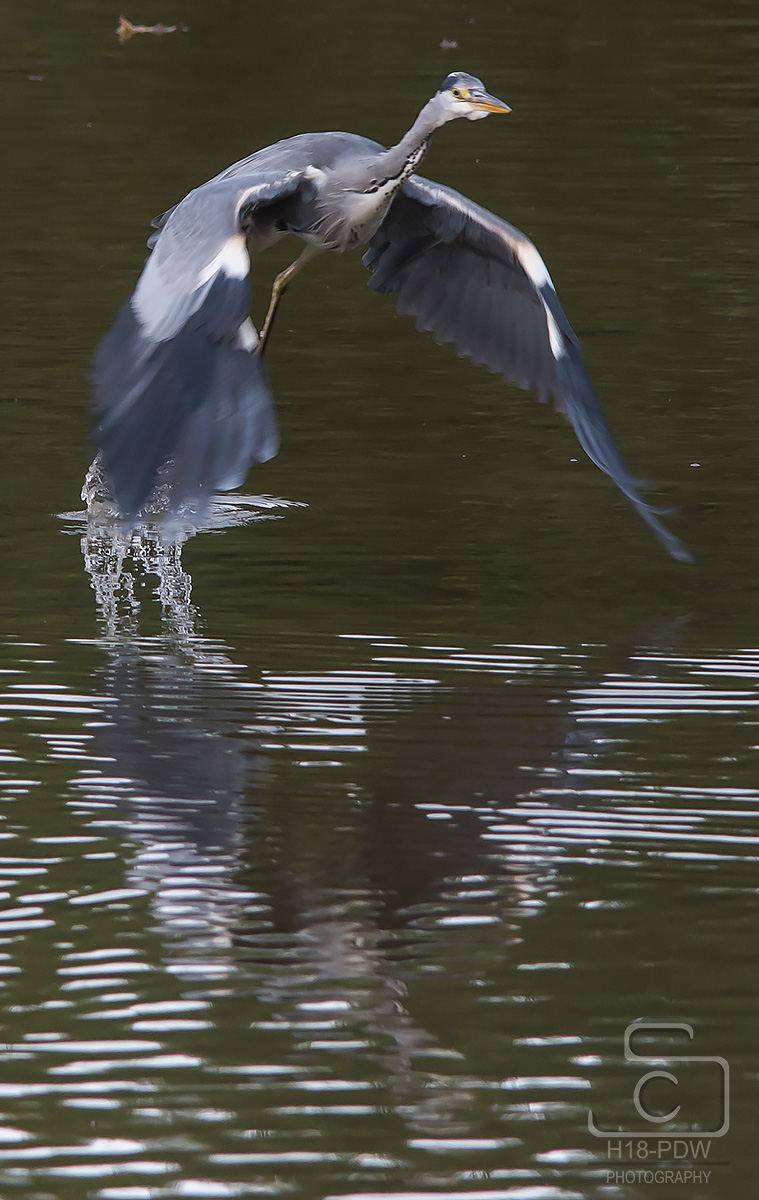 Heron Taking Off