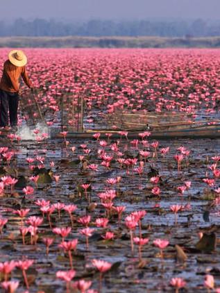 Mar de los lotos rojos de Tailandia ¡Este lugar es real! + Qué ver en Udon Thani