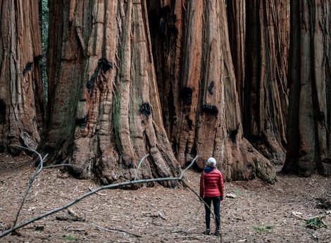 Mariposa Grove, magia entre sequoias gigantes