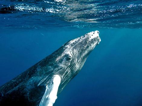 Avistamiento de ballenas jorobadas de enero a marzo en República Dominicana