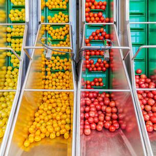 tomatoPrcssr.jpg