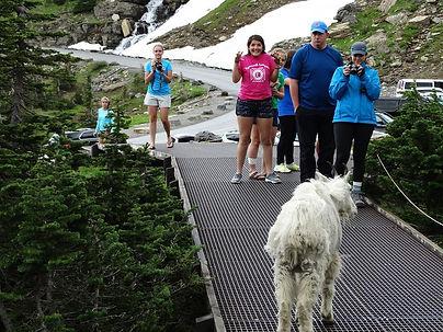 mountain goat.jpg