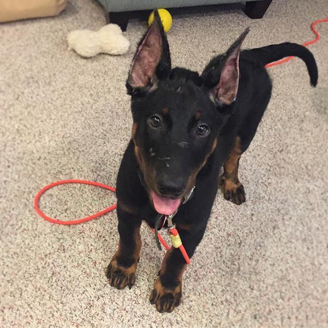 3 month old beauceron puppy