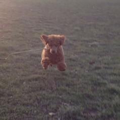 Recall practice! #dogtraining #training #louisvilledogtrainer #pipthepoodle #pipthepoodlepuppy #reallyreliablerecall #dogtraining #puppytrai