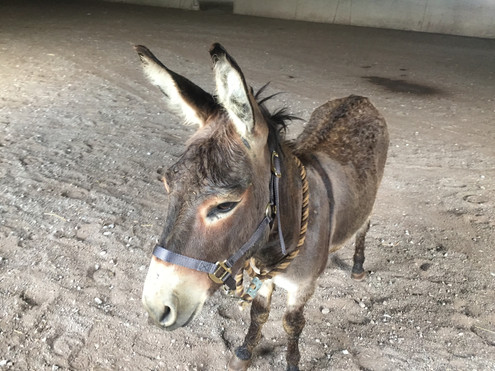 Buttons Donkey