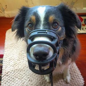Muzzle Training keeps us safe!