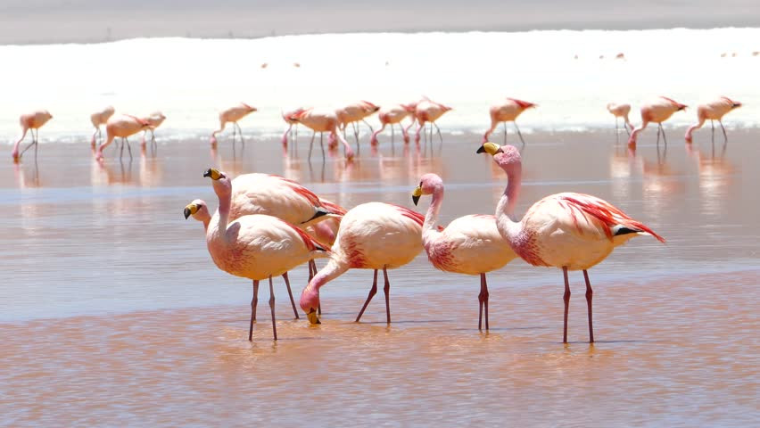 Flamingo rosa