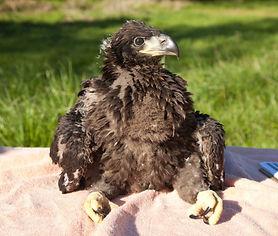 Eaglet.jpg