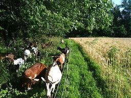 Goats-n-Grains.PHOTO CONTEST.jpg