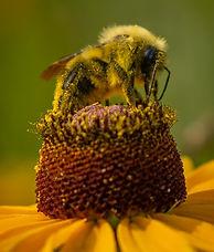 Bumblebee%20on%20Coreopsis_edited.jpg