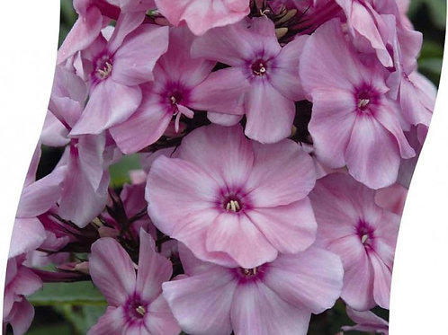 PHLOX (P) 'Sw. Summer Fragrance' Pot 11 cm