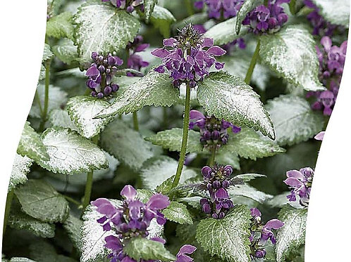 LAMIUM Mac. 'Beacon Silver' Pot 11 cm