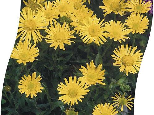 BUPHTHALMUM Salicifolium Pot 11 cm