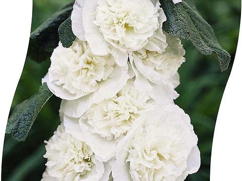 ALCEA Rosea 'Pleniflora' Wit Pot 11 cm
