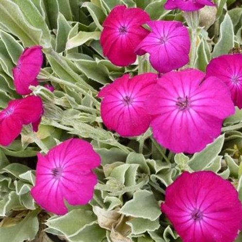 LYCHNIS Cor. 'Atrosanguinea' Pot 11 cm
