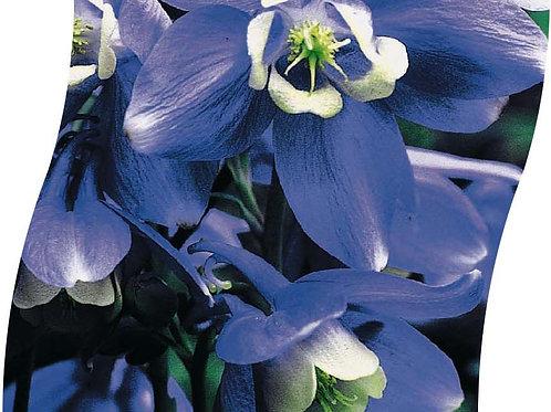 AQUILEGIA Alpina Pot 11 cm