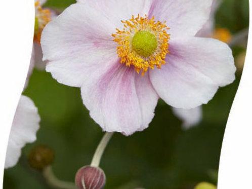 Anemone Hybr. 'Hadspen Abundance' Pot 11 cm