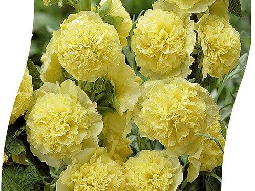 ALCEA Rosea 'Pleniflora' Geel Pot 11 cm