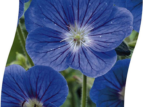 GERANIUM 'Johnson's Blue' Pot 11 cm