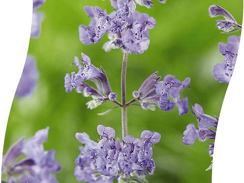 NEPETA Faassenii 'Walker's Low' Pot 11 cm