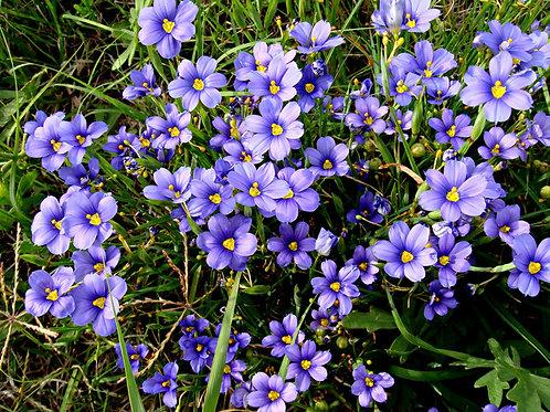 SISYRINCHIUM Augustifolium Pot 11 cm