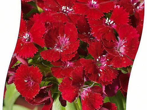 DIANTHUS Barb. 'Barbarini Red' Pot 11 cm