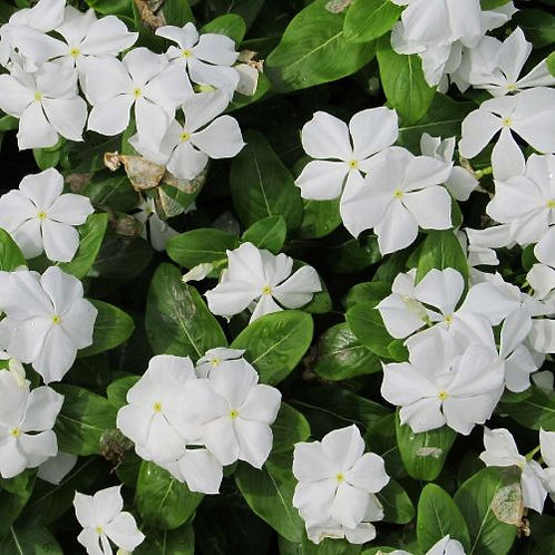 VINCA Minor 'Alba' Pot 11 cm
