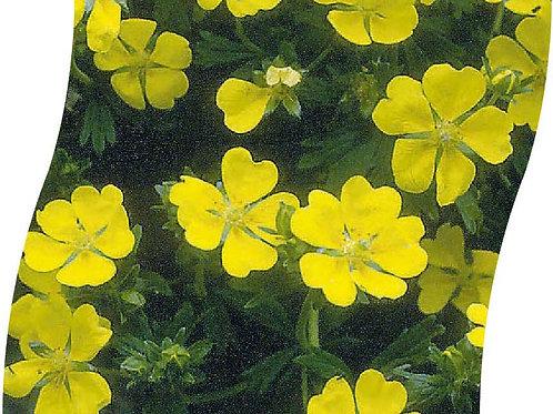 POTENTILLA Aurea Pot 11 cm