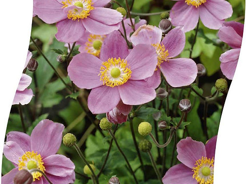 ANEMONE Hup. 'September Charm' Pot 11 cm