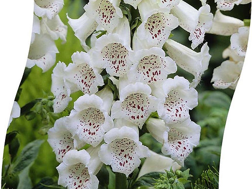 DIGITALIS Purp. 'Dalmatian White' Pot 11 cm