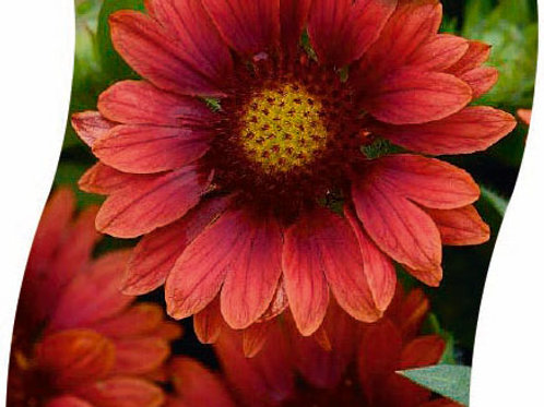 GAILLARDIA 'Red' Pot 11 cm
