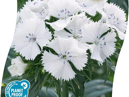 DIANTHUS Barb. 'Barbarini White' Pot 11 cm