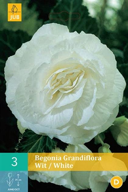 BULBE Begonia Grandiflora Blanc (3)