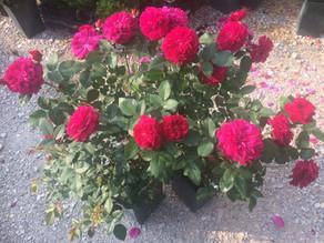 Rosen kaufen - wurzelnackt oder im Container?