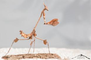 Gongylus gongylodes ♀