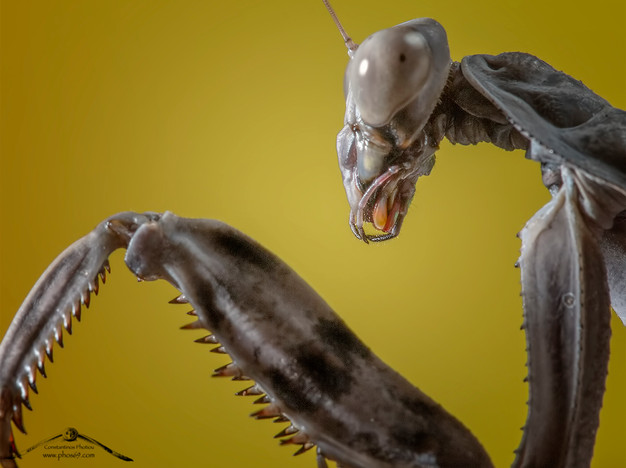 Pnigomantis medioconstricta ♀