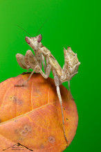 Creobroter gemmatus♂
