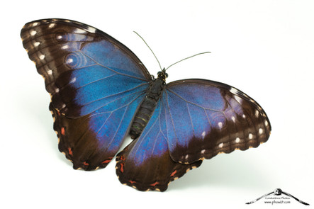 Morfo blu