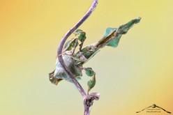Phyllocrania paradoxa ♀