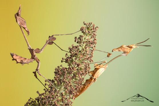Gongylus gongylodes ♂ ♀