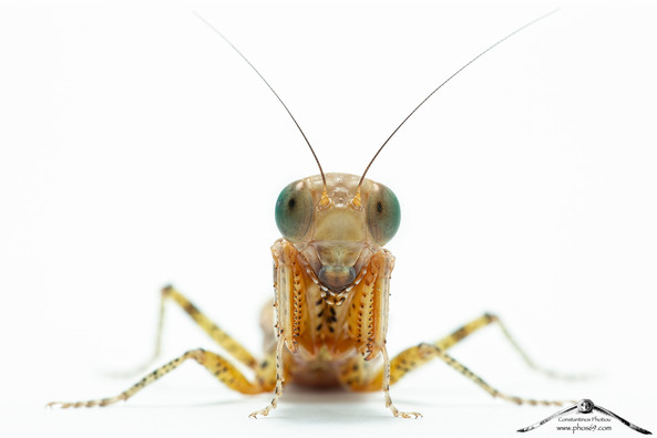 Tarachodula pantheria
