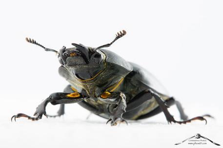 Lucanus cervus femmina