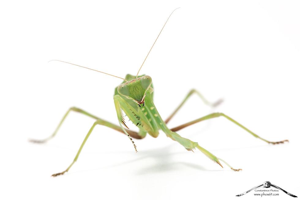 Sphrodomantis viridis