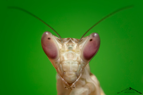 Creobroter gemmatus ♂