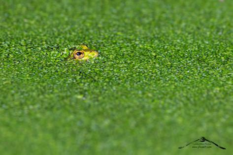 Rana verde italiana