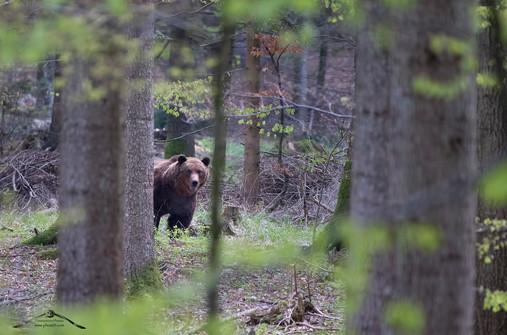 Il gigante nella foresta