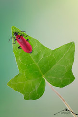 Pyrochroa coccinea