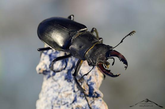 Lucanus cervus maschio